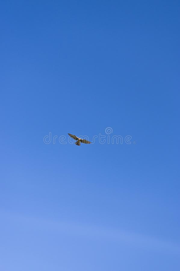 Falke auf Opferjagd in RÃ-¼ ttelflug und Stall schweben über Weinberg lizenzfreie stockfotografie