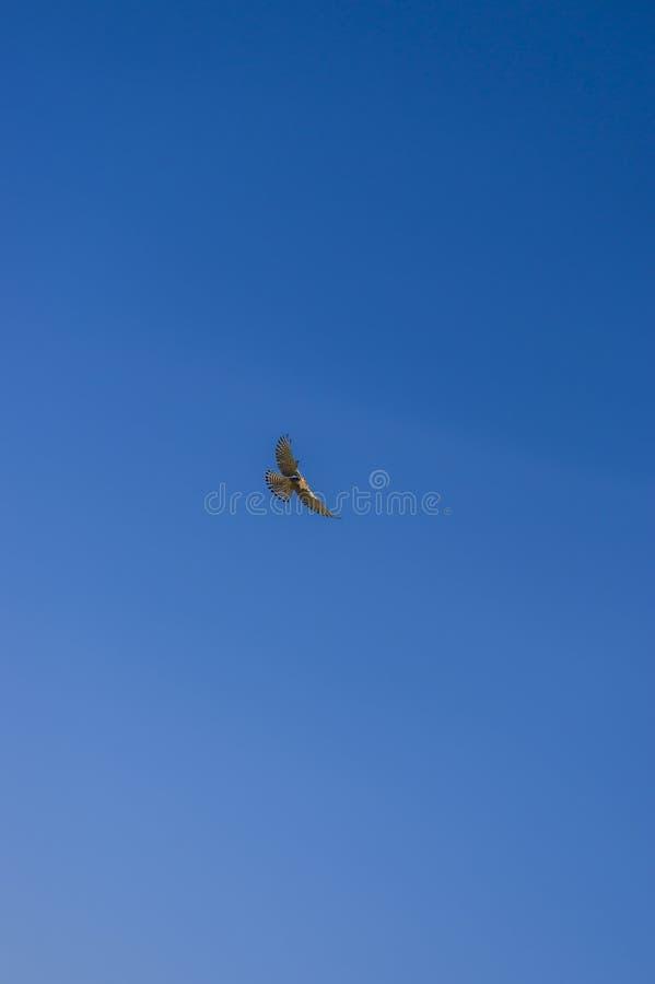 Falke auf Opferjagd in RÃ-¼ ttelflug und Stall schweben über Weinberg stockbild