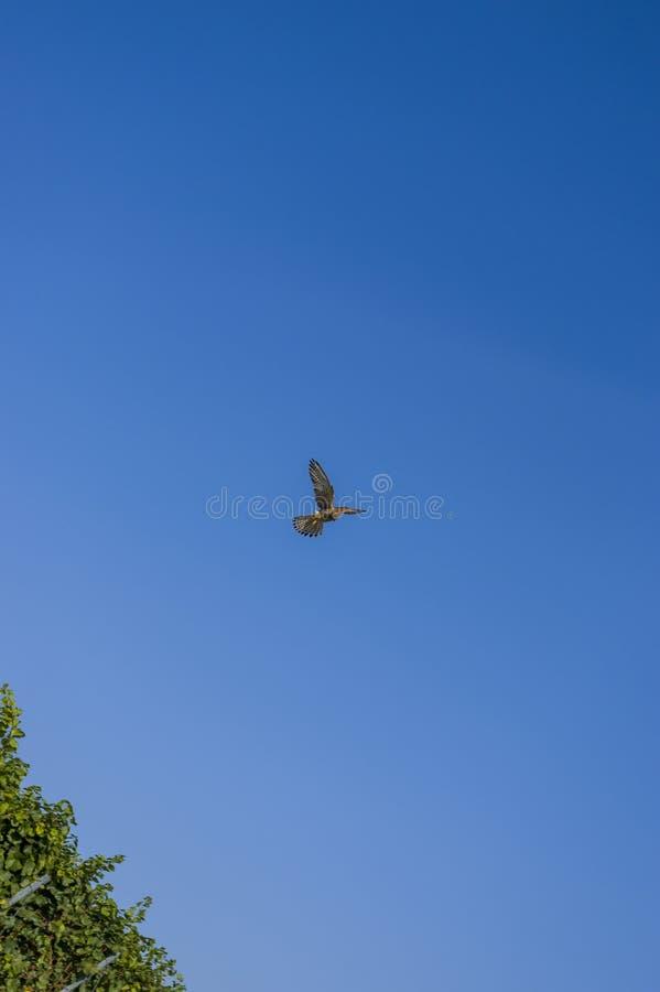 Falke auf Opferjagd in RÃ-¼ ttelflug und Stall schweben über Weinberg lizenzfreies stockbild