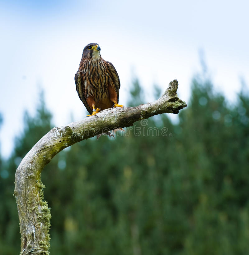 Falke auf Zweig stockbild
