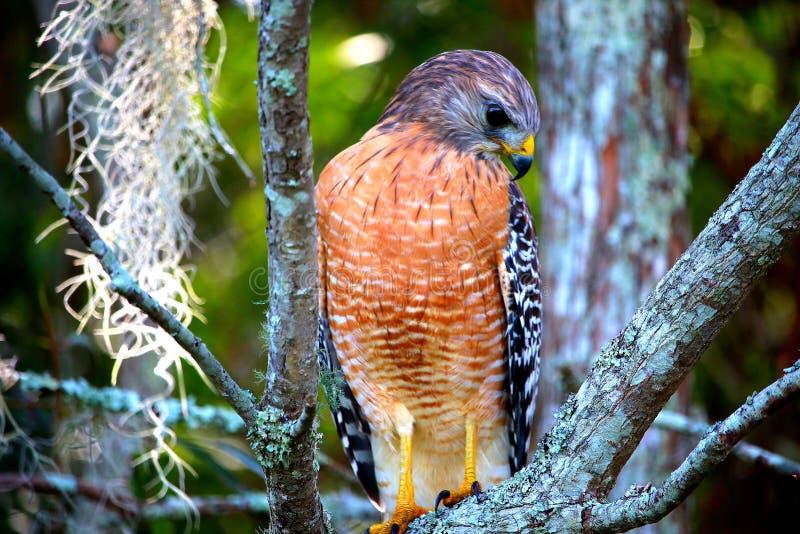 Falke, der Abgabe zeigt lizenzfreie stockbilder