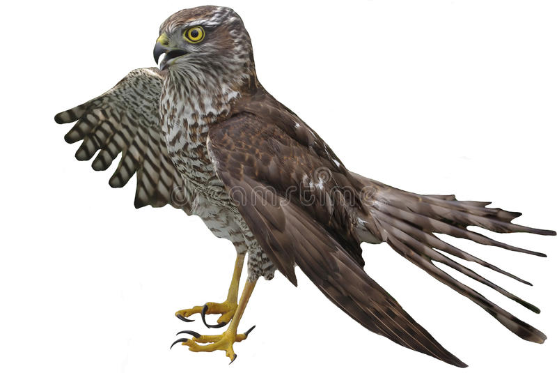 Falke, der einen Flügel auf etwas spezifiziert lizenzfreies stockbild