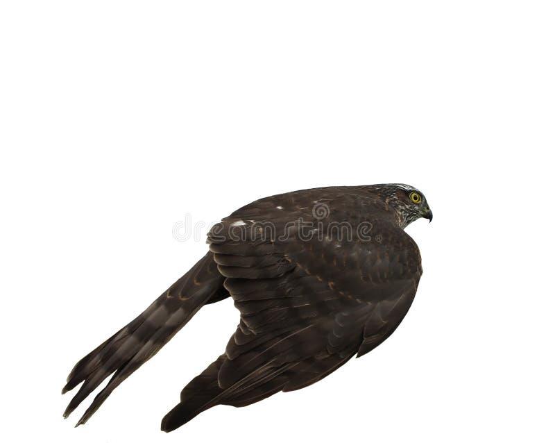 Falke, der etwas versteckt lizenzfreie stockfotografie
