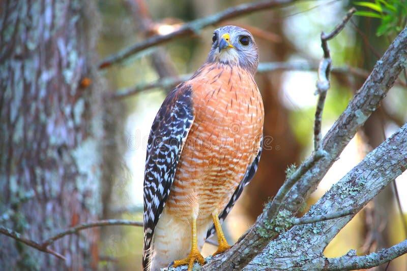 Falke, der für die Kamera aufwirft stockfoto