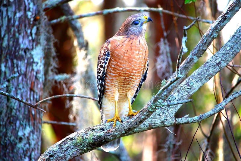 Falke, der oben hoch schaut stockfoto