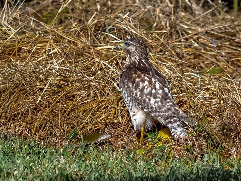 Falke in einem Florida-Waldland stockfotografie