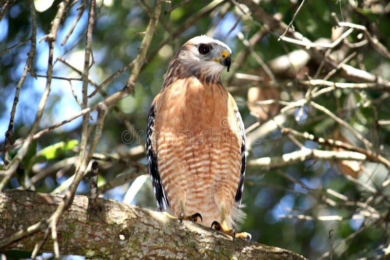Falke gehockt in einem Baum stockfotografie