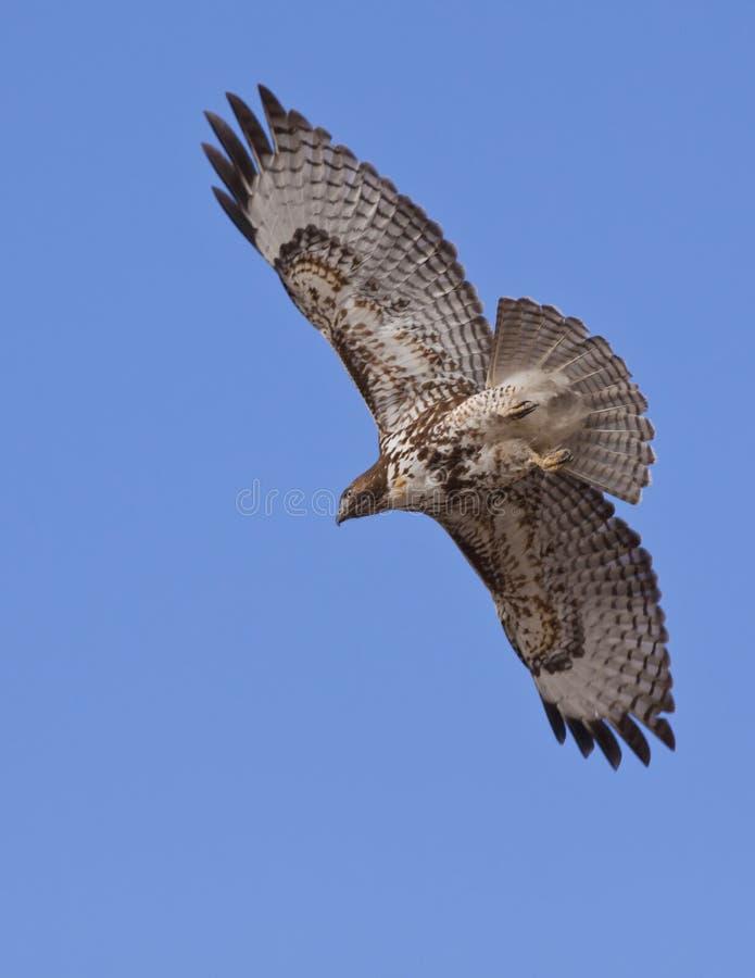 Falke im Flug lizenzfreie stockbilder