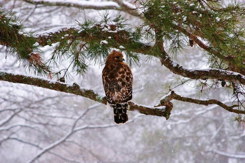 Falke im Schnee lizenzfreie stockfotos