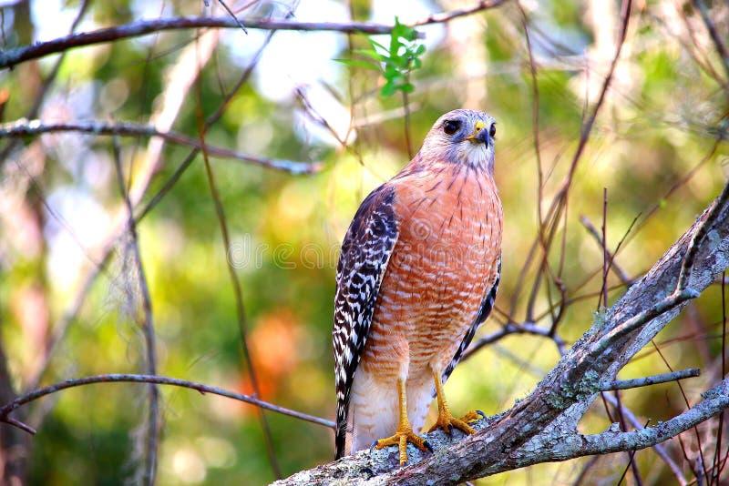 Falke mit einem Detektivgesicht lizenzfreies stockbild