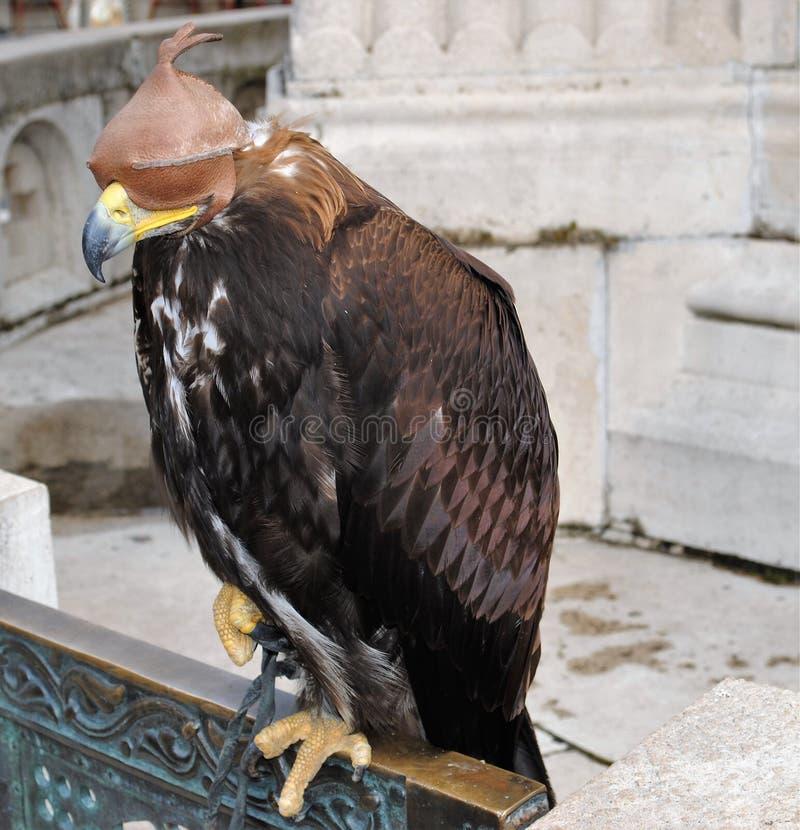 Falke mit einer Augenkappe lizenzfreie stockfotos