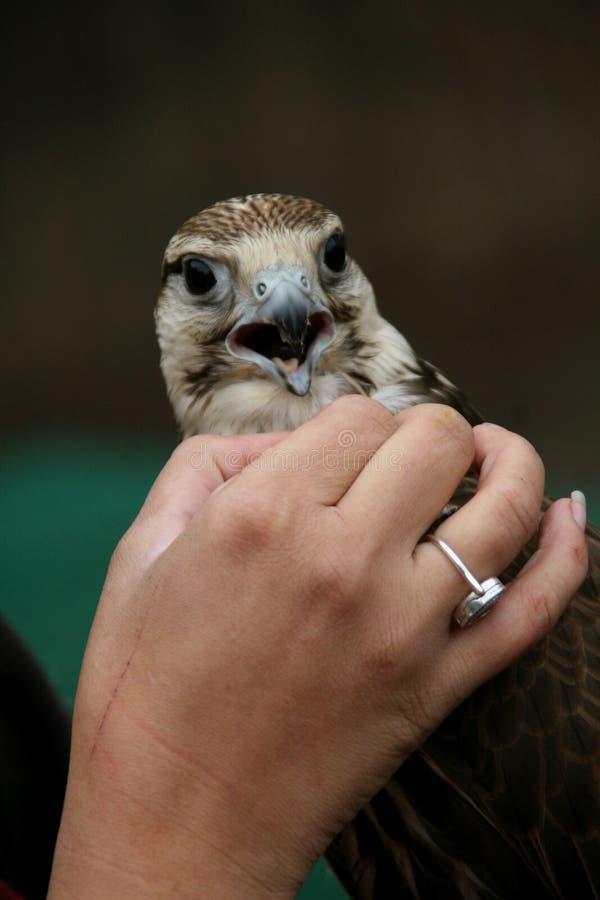 Falken får smekt av mannen royaltyfri foto