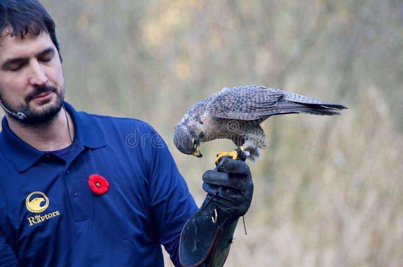 Falkeneraren rymmer den manliga peregrine falken med den behandskade handen royaltyfri fotografi