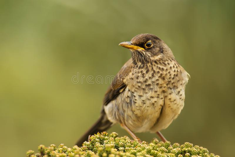 Falkland drozda obsiadanie na zielonej roślinie obraz royalty free