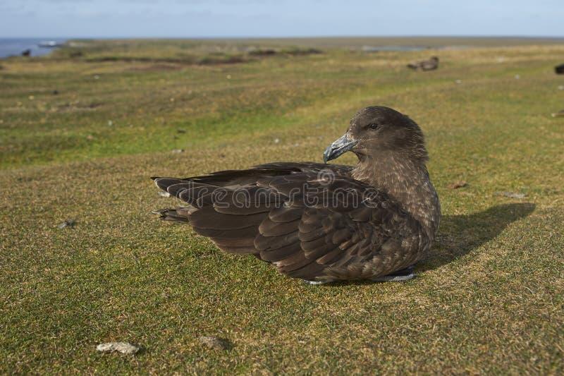 Falkland Skua - Falkland Islands stock fotografie