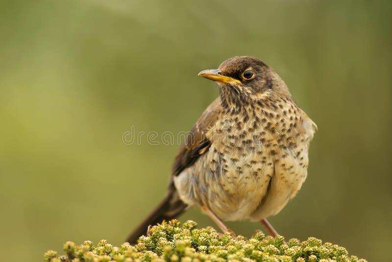 Falkland Thrush s'asseyant sur une plante verte image libre de droits