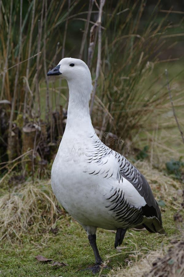 Falkland Upland Goose royalty-vrije stock afbeelding