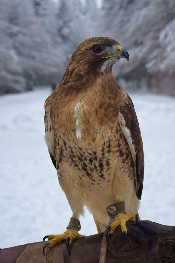 Falkstående i vintern royaltyfria foton