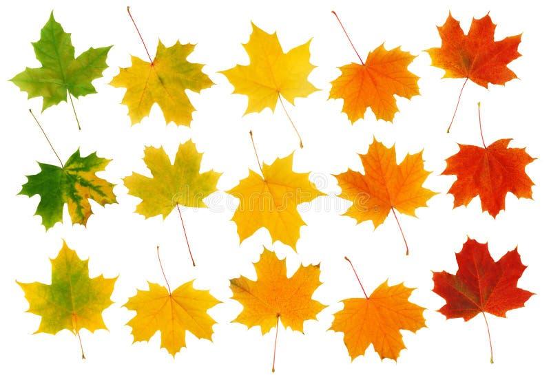 Fall-Ahornblätter stockbilder