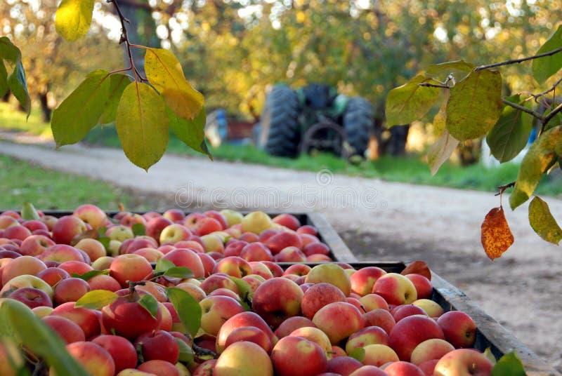 Fall-Apple-Ernte und Obstgarten stockbild