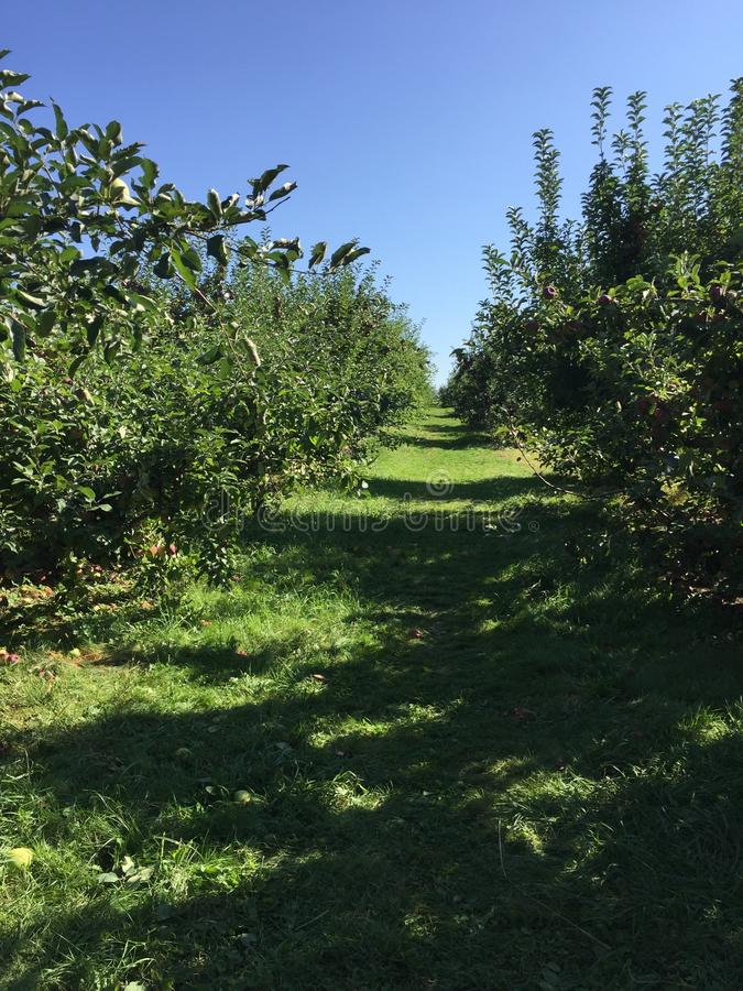 Rows of apple trees royalty free stock image