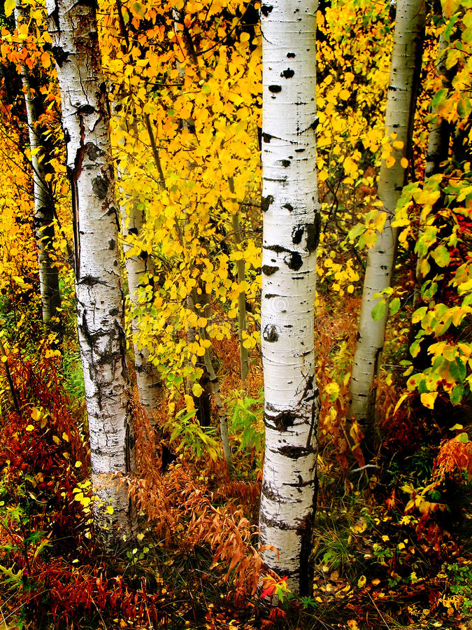 Fall Aspen Birch Leaves stock photography