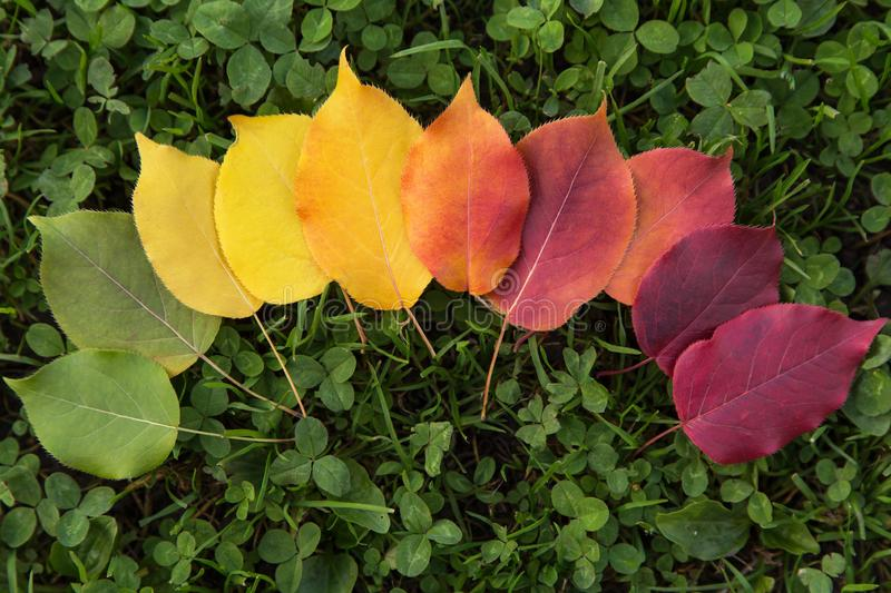 Fall autumn leaves transition from green to red, change of season concept. Fall autumn leaves transition from green to red gradient. The concept of changing the stock photo