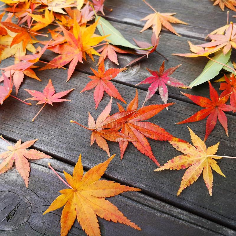 Fall of autumn maple leaves royalty free stock photo