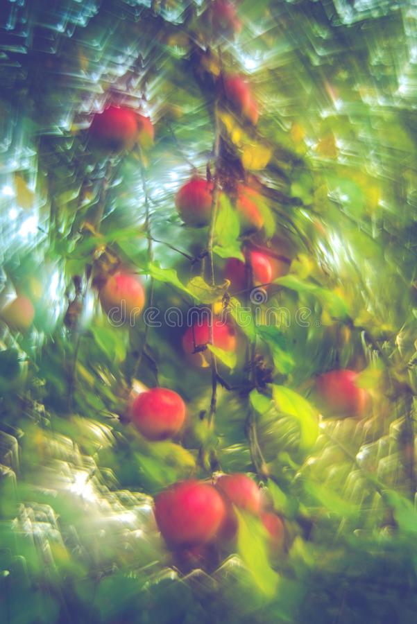 Fall background of hanging red apples royalty free stock photos