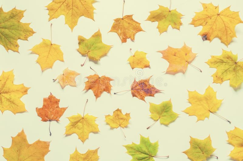 Fall background. Seasonal fall yellowed maple leaves on the white background. Fall composition stock photo