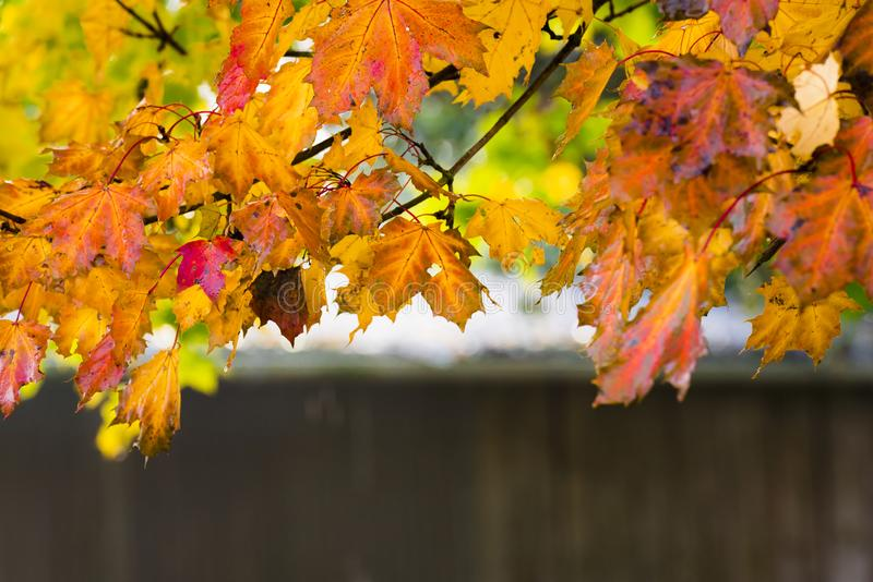 Tree branch with leaves in autumn colors. Fall background with a tree branch with leaves in autumn colors, framing the picture. A design and context for autumn royalty free stock photography