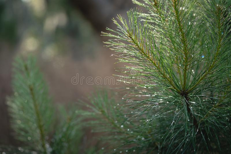 Fall background of young pine trees. With morning dew on the needles stock photography