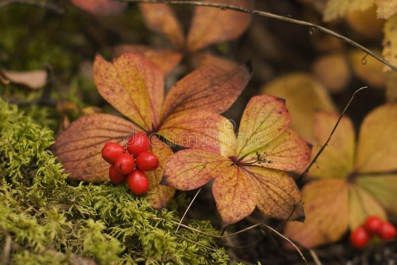 Fall berry stock photos