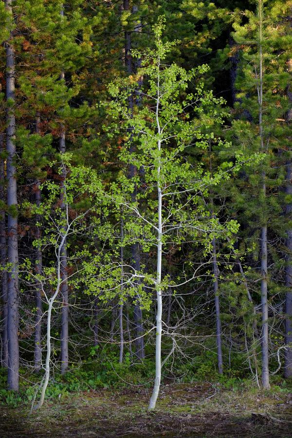 Fall Birch Aspen Tree in Forrest Wilderness royalty free stock photos