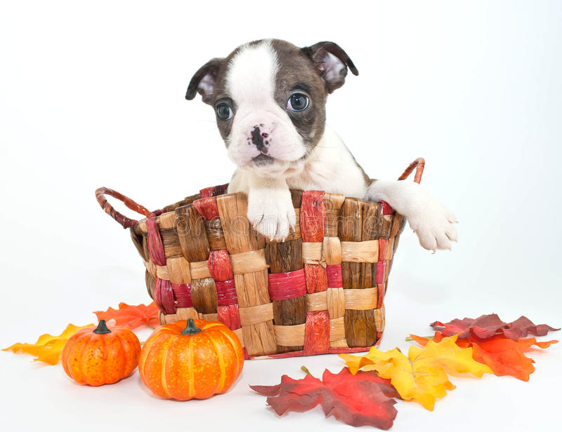 Fall Boston Puppy. Tiny little Boston terrier puppy sitting in a basket with fall decor around him, on a white background stock photography