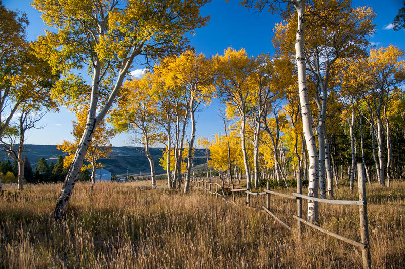 Fall on Casper Mountain Wyoming. Fall on Casper Mountain, Wyoming, with old rail fence. Quaking Aspen in full Fall color with golden grass in foreground royalty free stock image