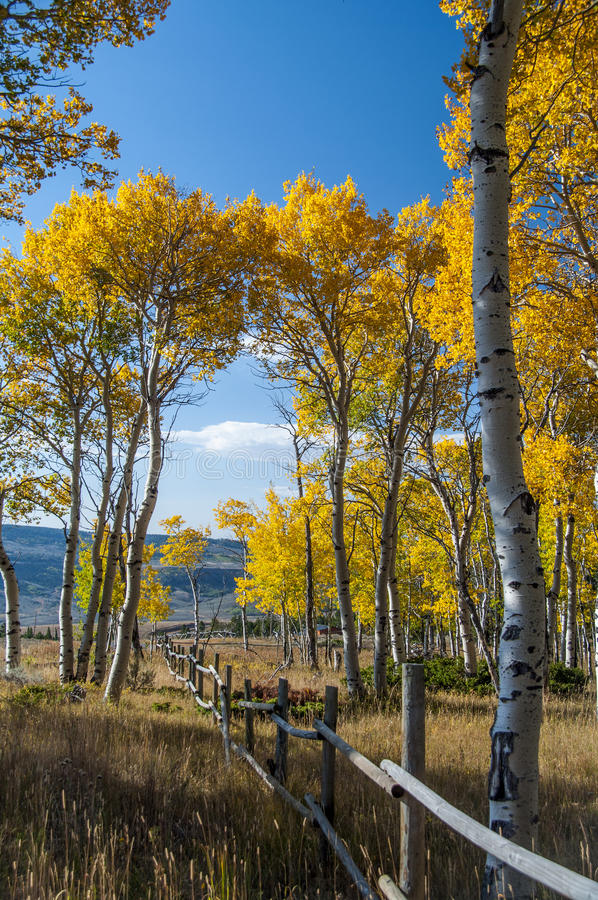 Fall on Casper Mountain Wyoming. Fall on Casper Mountain, Wyoming, with old rail fence. Quaking Aspen in full Fall color with golden grass in foreground stock photography