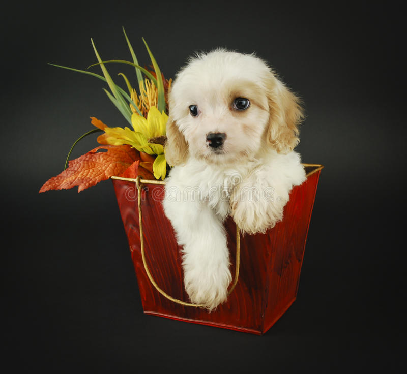 Free Fall Cavachon Puppy Stock Photography - 21340842