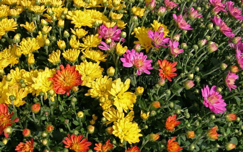Fall-Chrysanthemen stockfoto