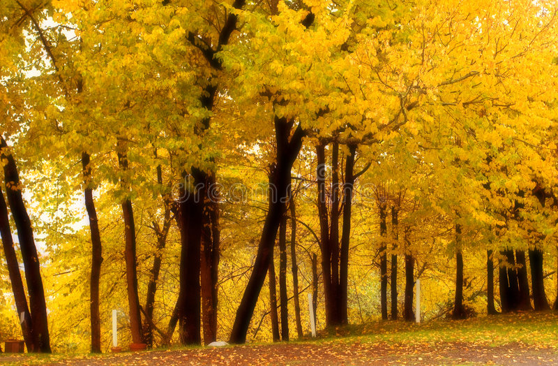Fall Color, Cork Elm Grove 4 (softened) royalty free stock photography