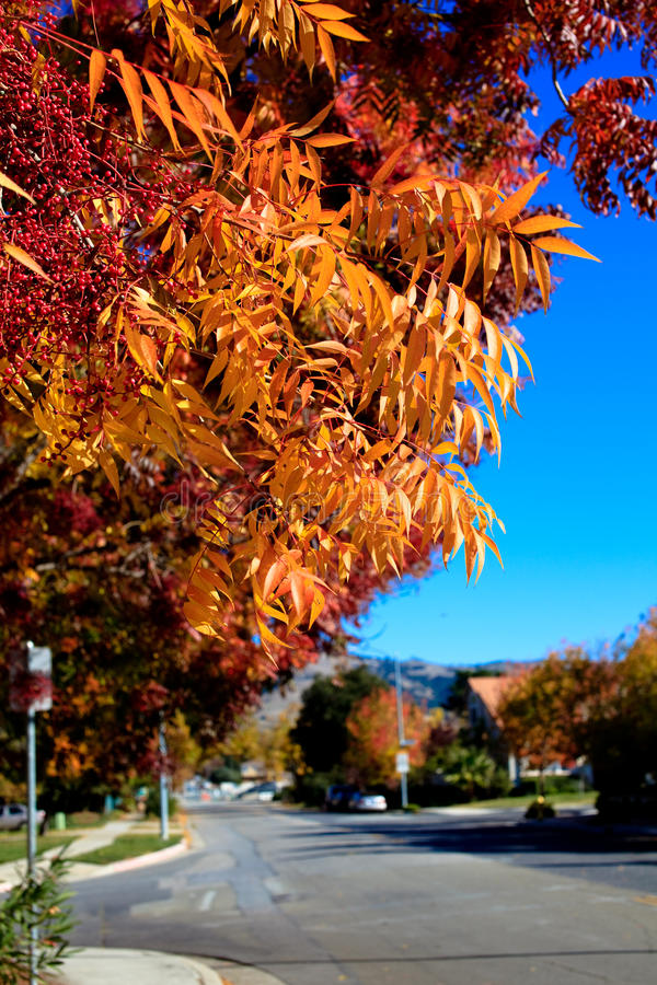Download Fall Color Red Orange Leafs Falling Off Tree Stock Photo - Image: 12649494