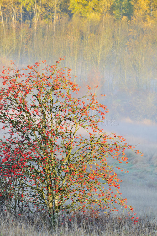 Fall color tree and fog stock images