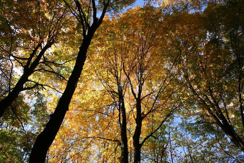 Fall color treetops and blue sky looking upward, Lansing, Michigan, USA. Fall color treetops and blue sky background, with camera looking skyward, Lansing royalty free stock images