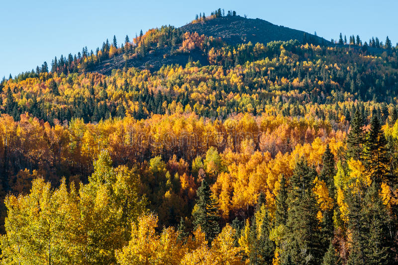 Fall Colored Aspens Near Cripple Creek. Mountain side covered with fall colors of aspen trees on the road to Cripple Creek royalty free stock photos