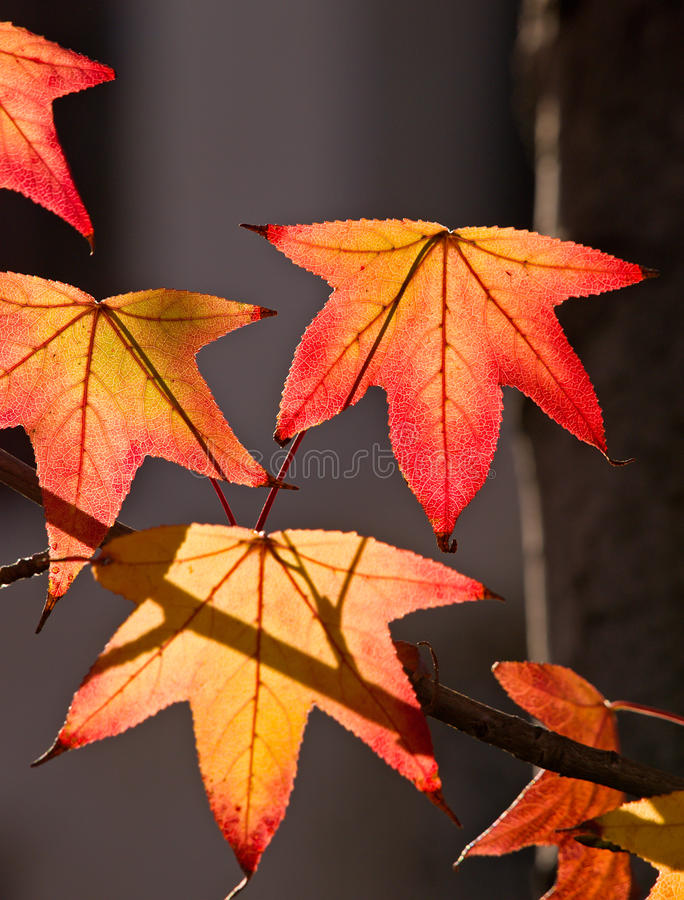 Free Fall Colored Leaves Royalty Free Stock Photo - 20437025