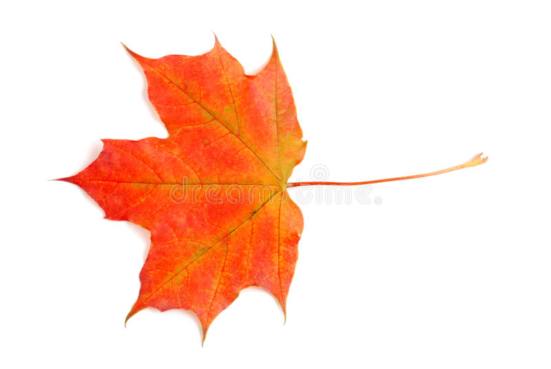 Download Fall colored maple leaf stock image. Image of october - 11440055