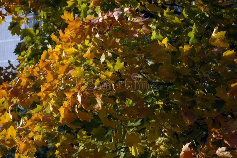 Fall colorful tree royalty free stock photos