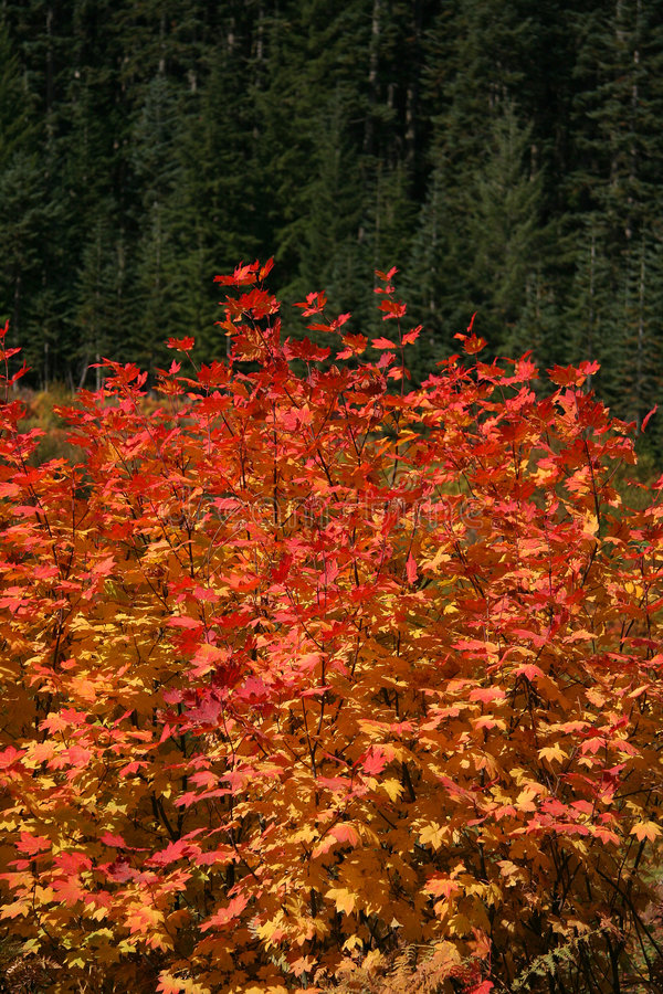 Fall colors. Bright red leaves. Nice autumn semi-abstract pattern stock photos