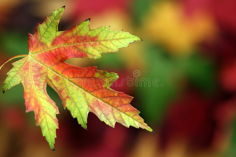 Fall Colors. Macro of a multicolored fall leaf, in front of a blurred background. (Shallow depth of field stock images