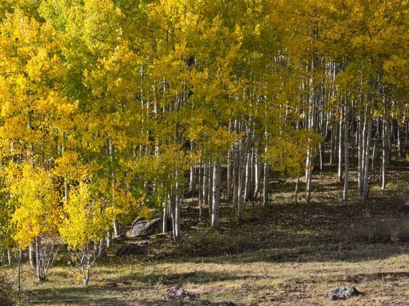 Fall colors, Aspens stock photo